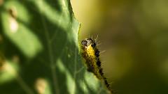 Bon appetit ! (virginiefort) Tags: d600 sigma15028macro capucine caterpillar chenille flowernasturtium insect insecte macro macrophotographie macrophotography nikon flower nasturtium