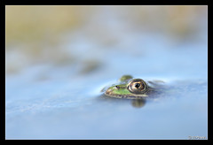 grenouille 18 (jo.pensel) Tags: bretagne breizh brittany biodiversit finistre france faunedebretagne nature naturebretagne photographebretagne photobretagne imagenature jopensel jocelynpensel jopenselcom jocelynpenselphotographe pensel macrophotographie macro proxyphotographie sigma105mmmacro ranasp rana amphibien amphibian batracien