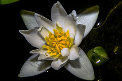 Nymphaea tetragona (betadecay2000) Tags: nymphaea tetragona botanisch teich teichrose seerose wasserpflanze zwergseerose wasser teichpflanze blte pflanze weis white green grn schn water plant bloem fleur