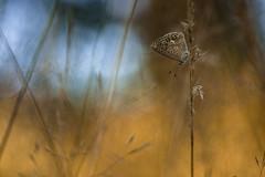 Fire (Mathieu Calvet) Tags: pentax k3 fa100macro 100mm 100 bokeh blured blur nature midipyrnes occitanie papillon butterfly mariposa argus