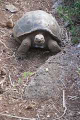 Posing tortoise (Harmonious Discord) Tags: galapagueradecerrocolorado galpagos gianttortoise sancristbal