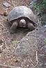 Posing tortoise (Harmonious Discord) Tags: galapagueradecerrocolorado galápagos gianttortoise sancristóbal