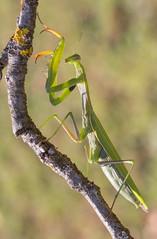 Mante 23 (Jeaunse23) Tags: mantis mantisreligiosa macro insect france ardeche