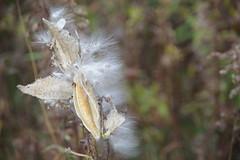 (Vicky Boulais) Tags: automne paysage nature asclépiades