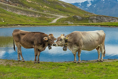 Cuddles (marypink) Tags: valledellalpe parconazionaledellostelvio rifugiosunnyvalley m2775 mucche cow laghetto reflections montagne mountains nikond500 2470mmf28