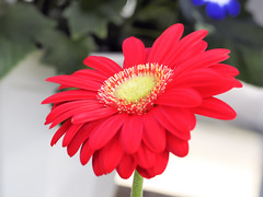 _3170692 (bluebullet) Tags: red flower japan closeup season march spring cloudy petal gerbera sakaicity fukuiprefecture