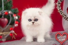 Les Persans de Fannie (Les Persans De Fannie) Tags: christmas cats pets cat persian chats kitten chat noel chinchilla fete animaux fannie fetes chaton chatons persan