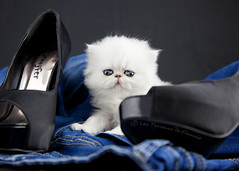 Les Persans de Fannie (Les Persans De Fannie) Tags: cats pets france cat silver golden persian chats kitten shoes chat photos bleu jeans chinchilla talon animaux beau fannie chaussures tendre chaton shaded chatons chaussure persan cattery chatterie