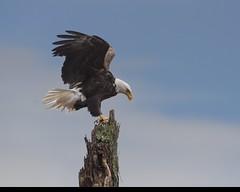 Bald Eagle [ Explore ] (snooker2009) Tags: winter bird nature birds sunrise outdoors spring bravo eagle wildlife getty migration bigfav thewonderfulworldofbirds dailynaturetnc12 photoofthedaynwf12