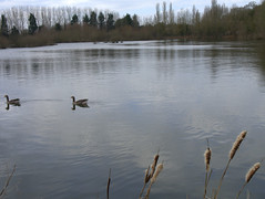 Cold and still (Maggie @ Abingdon) Tags: birds geese spring waterfowl bullrushes radleylakes thrupplake earthtrust