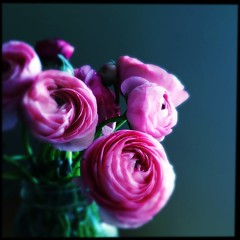 #Ranunculus on #Hw_flashsaturday (starknurse) Tags: hipstamatic tastypopflash sugarfilm tinto1848lens