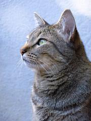 Raja, o Gato ([  ]) Tags: cats pets animals gatos    animaisdeestimao