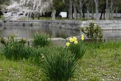 (ddsnet) Tags: travel plant flower japan sony 99  nippon  kansai  nihon  slt narcissus backpackers flower          osakafu  japan suitashi   flowerinjapan singlelenstranslucent 99v