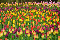 Colorful spring tulip garden (Perl Photography) Tags: flowers plants flower nature floral beauty field garden botanical petals spring colorful pattern tulips gardening vibrant background blossoms meadow vivid tulip blooms multicolored horticulture springtime blooming floralbackground