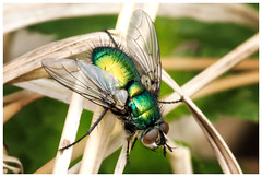 Greenbottle Fly. (vegetus aer) Tags: fly wildlife great trust fen greenbottle cambridgeshire woodwaltonfen nnr projectwildlife fengreat trustbcn