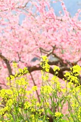 (ayumi_yoruko) Tags: pink flower color macro tree nature yellow japan canon spring blossom bokeh peach rape 7d         eos7d