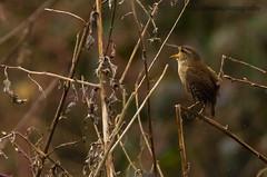 Singing in the rain (ABPhotosUK) Tags: birds pentax wren k5 florafauna