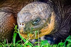 Tortuga gigante de las Islas Galápagos. (Victoria.....a secas.) Tags: ecuador gianttortoise tortugagigante islasgalápagos