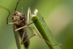 greenworld. tipula, female (MecaEPT) Tags: meca macro verges nature tipula insect arthropod diptera tipulidae canonina closeup canon canonefs60mmf28usm 60mm greenworld garden handheld green