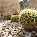 Cactus in Castle Alicante