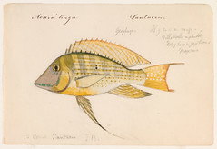 Geophagus altifrons (Santarem, Brazil, 26 August 1865) (The Ernst Mayr Library) Tags: brazil fish cichlidae perciformes geophagus jacquesburkhardt eartheater scientificdrawings thayerexpedition taxonomy:binomial=geophagusaltifrons
