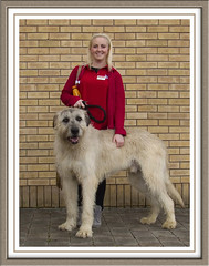 Irish Wolfhound (foreverblue1) Tags: wolfhound irishwolfhound