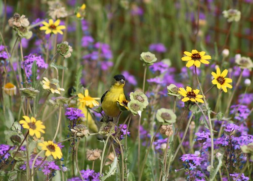 Lesser Goldfinch & flowers