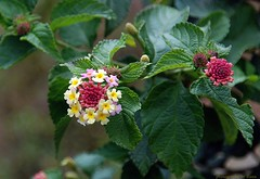 Floral Tiara (matlacha) Tags: flowers plants nature gardens costarica colours lantana mygearandme flowerthequietbeauty monteverdelodgehotel