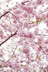 Japanische Kirschblüte aka sakura 桜 (AndreaKamal.com) Tags: pink flower tree rose germany season spring hamburg seasonal april 桜 cherryblossom sakura frühling ساكورا japanischekirschblüte