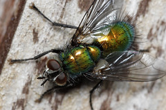 Flying Colours (Chris Wakefield1_Traveling Norway) Tags: macro canon insect fly colours greenbottle blowflys eos60d luciliaillustrissericata