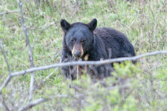 Meal Interrupted (dbushue) Tags: bear wildlife yellowstonenationalpark wyoming blackbear 2012 ynp ursusamericanus coth supershot specanimal calcitesprings damniwishidtakenthat sunrays5 dailynaturetnc13 photoofthedaynwf13