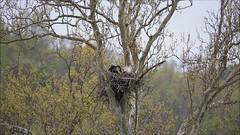 BALD EAGLES at HIGGINSPORT, OHIO, APRIL 27, 2013 (nsxbirder) Tags: baldeagle haliaeetusleucocephalus video higginsport ohio browncounty eaglet