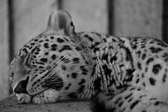 Ounce (Christian Bender) Tags: bw monochrome animals ona ounce