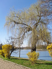 Forsythias on the Herastrau Lake's shore (Ramona R***) Tags: park flowers blue parque trees parco naturaleza lake primavera nature water grass lago see spring weide alley sauce natureza natur lac natura willow shore romania forsythia rbol shrub albero arbre rvore parc bucharest printemps mal baum springflowers yellowflowers bucuresti herastrau rumania springtime frhling roumanie alee salice salgueiro bucarest primavara copac salcie herastraupark herastraulake parculherastrau florideprimavara laculherastrau