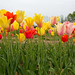 Burnside Tulip Farm 2013-7012.jpg
