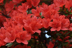 Azaleas at Umenomiya-taisha in Kyoto (kyoshiok) Tags: flower japan kyoto shrine azalea kirishimaazalea umenomiyataisha