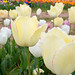 Burnside Tulip Farm 2013-7006.jpg