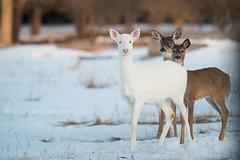 Snowball (Mr Macgoo) Tags: animals nikon deer snowball whitetail 600mm stjosephisland elbino widlifephotography steffonmcgregor northerninterludesphotography