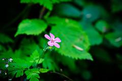 (J.Para) Tags: pink flower up leaves nikon close mterie 2470mm d7000