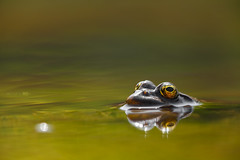 Spring Lake (Emyan) Tags: lake nature water animals spring eyes frog reptiles marshfrog pelophylaxridibundus