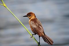 Lustrous brown toned Cowbird balances on tilted reed (jungle mama) Tags: marsh wetland cowbird wakodahatchee floridabird bronzedcowbird molothrusaeneus mygearandme mygearandmepremium wakodahatcheewetlandsdelraybeachfl greencayboyntonbeachfl
