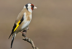 Goldfinch (JOHN CRAWFORD2011) Tags: nature wildlife gardenbirds allofnatureswildlifelevel1 goldfinchbirdbirds