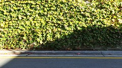 Leafy Wall (Theen ...) Tags: road street shadow sunlight green yellow thomas samsung line adelaide creeper leafy gouger theen flickrandroidapp:filter=none