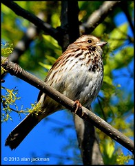 Song Sparrow, Birds of John Heinz Wildlife Refuge (alan jackman) Tags: tree bird philadelphia birds pennsylvania wildlife pa sparrow refuge wildliferefuge songsparrow johnheinzwildliferefuge philadelphiapennsylvania d7000 nikond7000 jackmanonjazz alanjackman nikkor55300mmlens nikon55300mmlens
