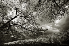At the graveyard (O9k) Tags: bw film graveyard japan analog 35mm landscape branches fisheye sakura analogue cherrytrees selfdeveloped chrryblossom canoneos3000v 14mm28 homedeveloping samyang kodakhc110