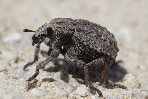 Brachycerus repertus? - Garlic weevil