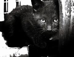 Little Black Cat (Alberto Cavazos) Tags: cats cat blackcat kitten kittens gato kitties 28 nikkor gatito nikkorlens 28mmf28af afnikkor28mm128 nikkorlensoncanoneosbody