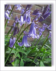 Bluebells ( Annieta  Off / On) Tags: blue flower holland nature netherlands fleur canon flora blauw nederland natuur powershot bleu mei fiori allrightsreserved bloem krimpenerwaard supershot 2013 annieta bl awesomeblossoms amazingdetails usingthisphotowithoutpermissionisillegal blinkagain sx30is