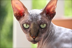 Calvus (Ancilla Tilia) Tags: cats cat kat kitteh sphynx hairless