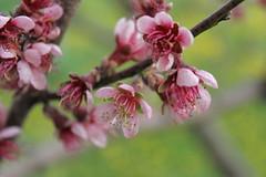 apple blossoms (Jwaan) Tags: pink tree green apple spring blossoms central upstate stamen centralnewyork fingerlakes springtime stonesthrowfarm
